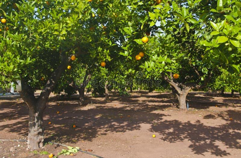 Oranje bomen bij aanplanting royalty-vrije stock afbeelding