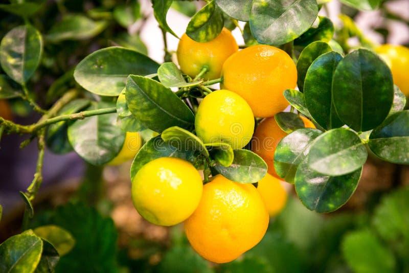 Oranje bomen met vruchten op aanplanting royalty-vrije stock afbeelding
