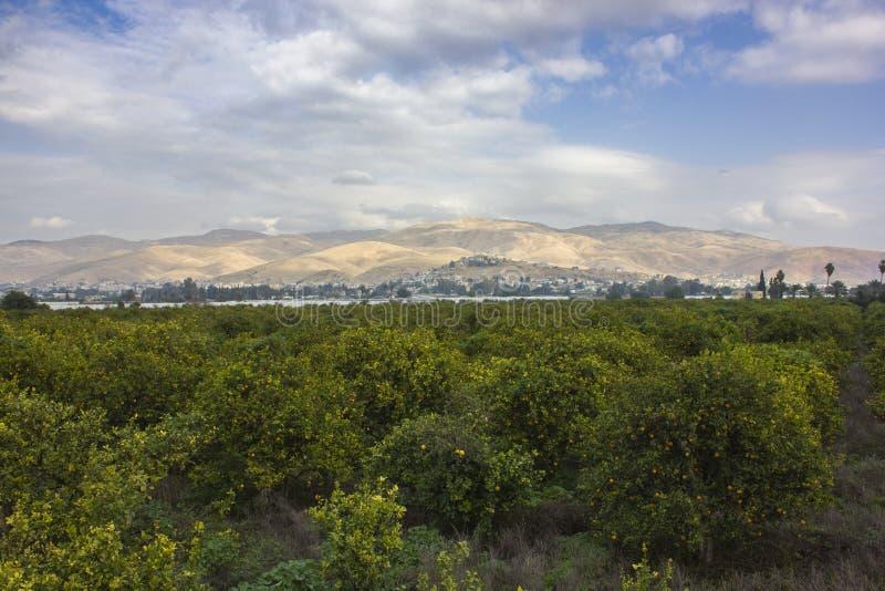 Oranje bomenaanplanting met rijpe vruchten in de vallei van Jordanië royalty-vrije stock fotografie