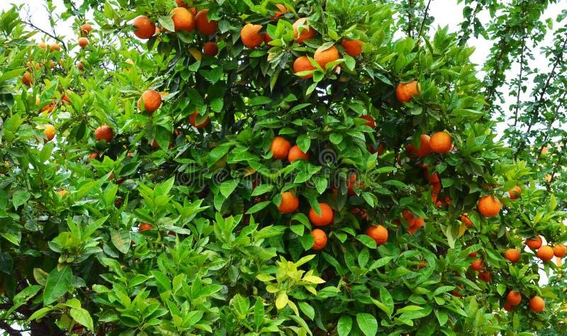 Oranje Boom royalty-vrije stock afbeeldingen