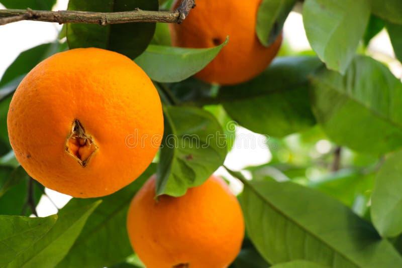 Oranje boom dichte omhooggaand royalty-vrije stock foto's