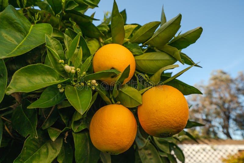 Oranje boom met rijpe sinaasappelen in een tuin stock foto's