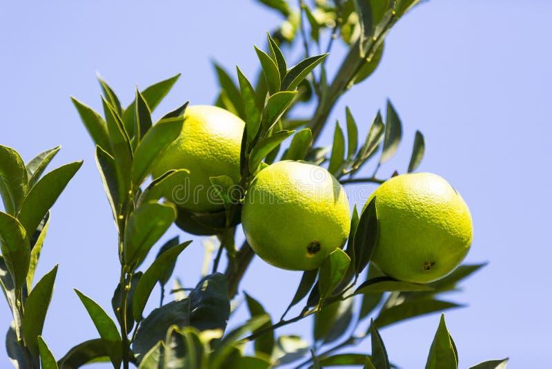 Oranje boom met vruchten royalty-vrije stock foto's