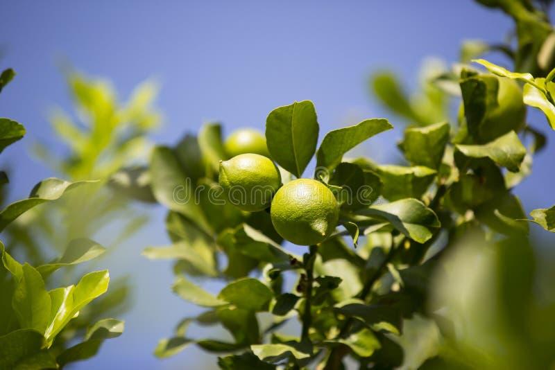 Oranje boom met vruchten royalty-vrije stock afbeeldingen