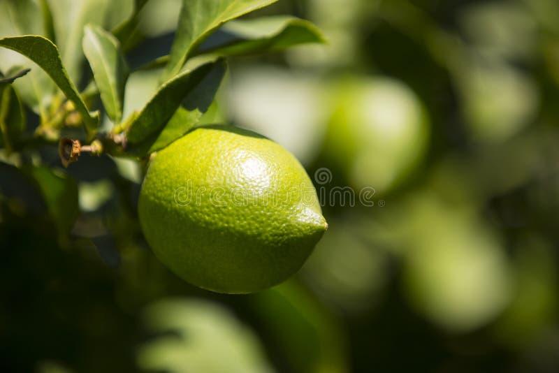 Oranje boom met vruchten royalty-vrije stock fotografie