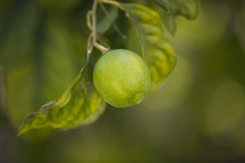 Oranje boom met vruchten stock foto