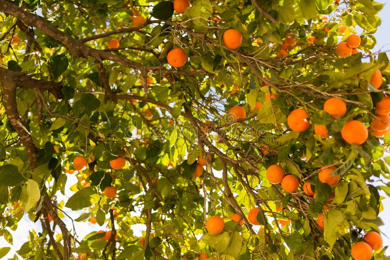Oranje boom met vruchten op zijn takken stock fotografie