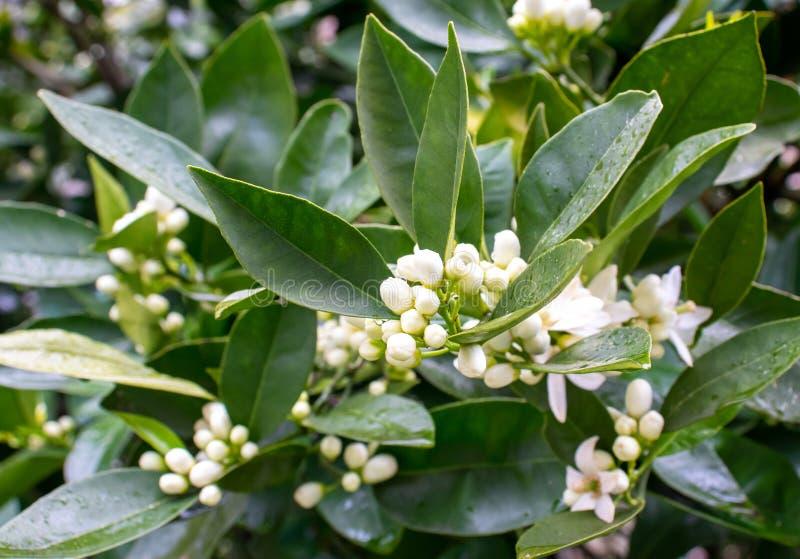 Oranje boom witte geurige bloemen en knoppen na de lenteregen Azaharbloesem stock foto's