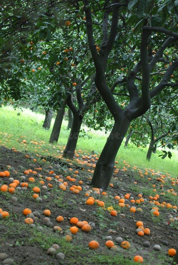 Oranje boomgaard royalty-vrije stock foto's