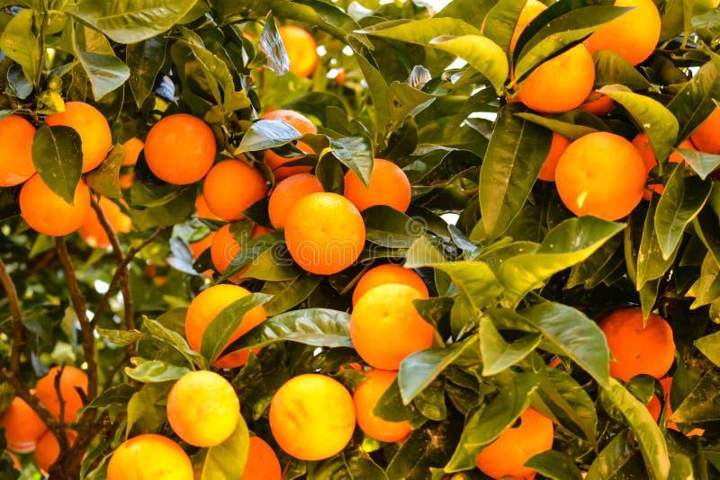 Oranje boomhoogtepunt van sinaasappelen stock afbeelding