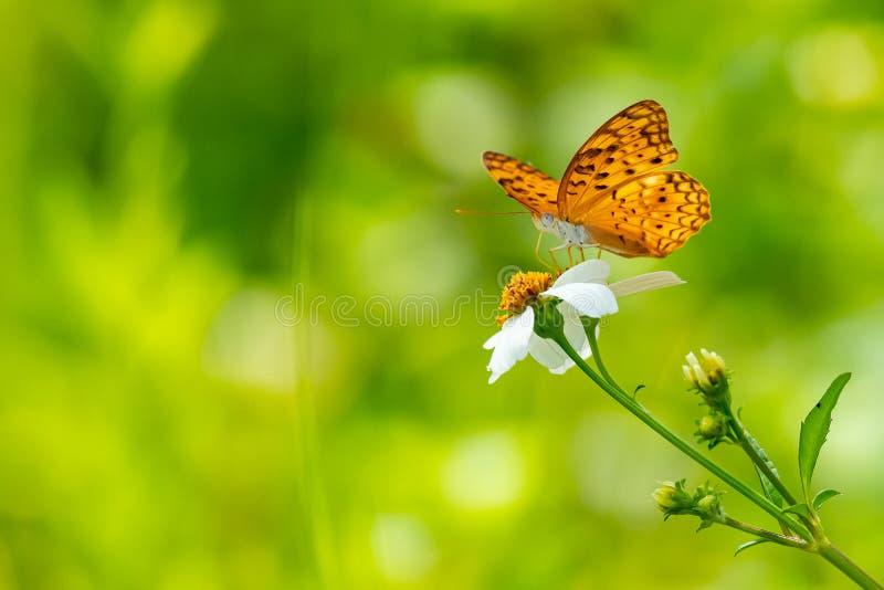 Oranje bruine vlinder gebruikend zijn zuigorganen om de nectar van de bloem te verzamelen stock afbeelding