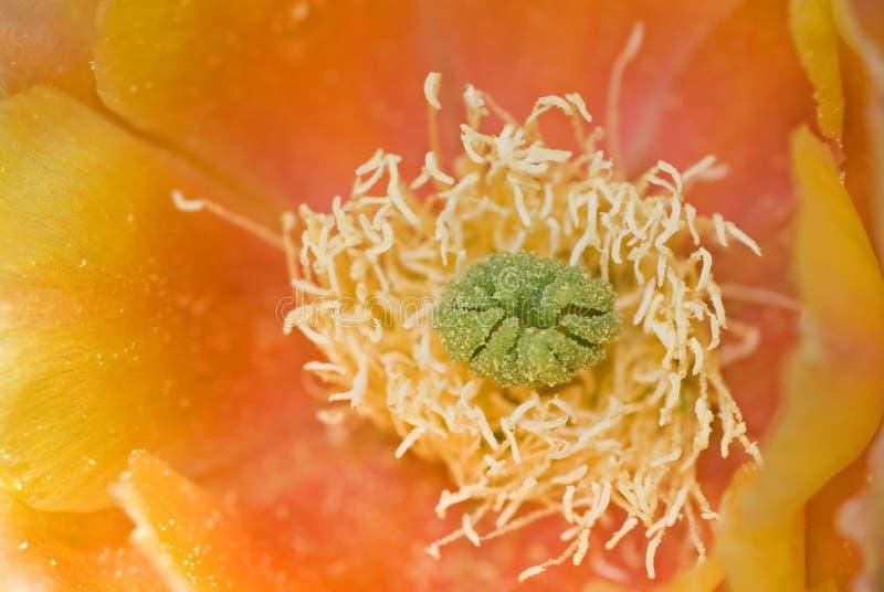 Oranje Cactus stock foto's