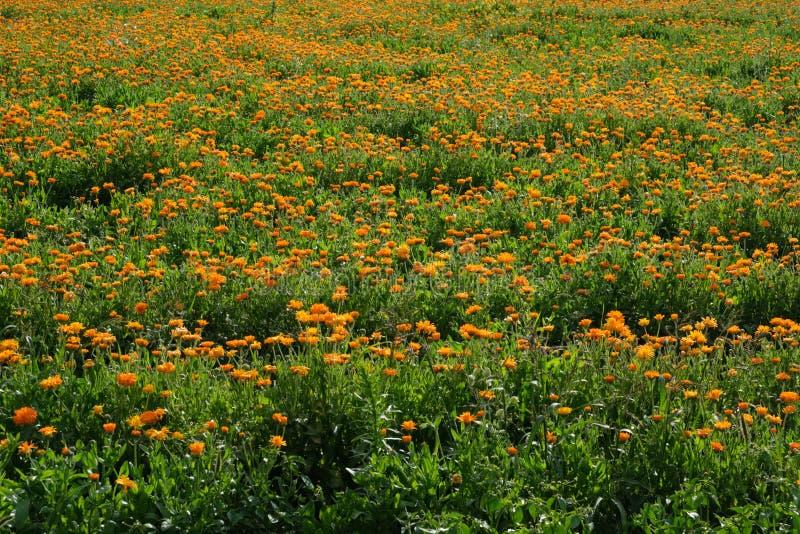 Oranje calendulagebied Gezonde goudsbloembloemen stock fotografie
