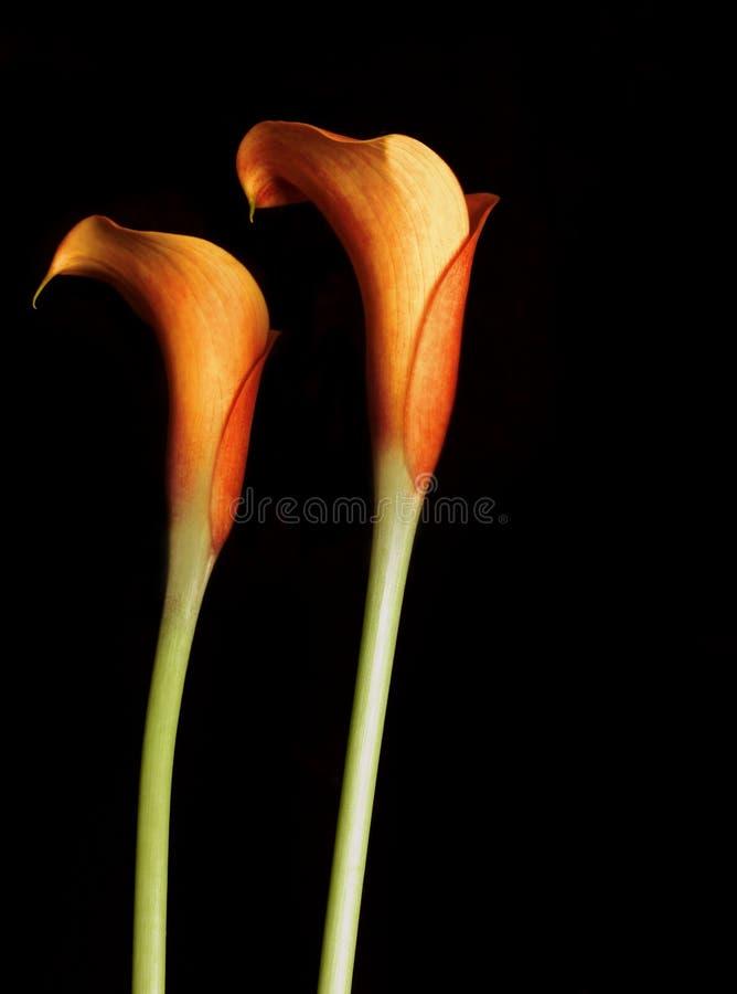 Oranje Calla Lillies stock afbeelding