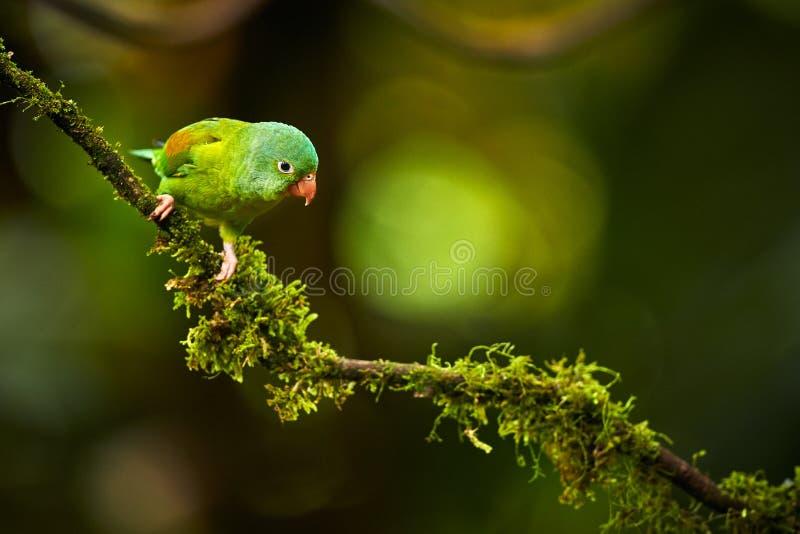 Oranje-Chinned Parkiet, Brotogeris-jugularis, papegaai van Costa royalty-vrije stock afbeeldingen