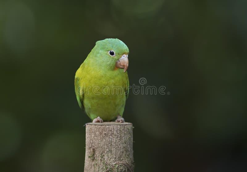 Oranje-Chinned parkiet in Costa Rica stock foto's