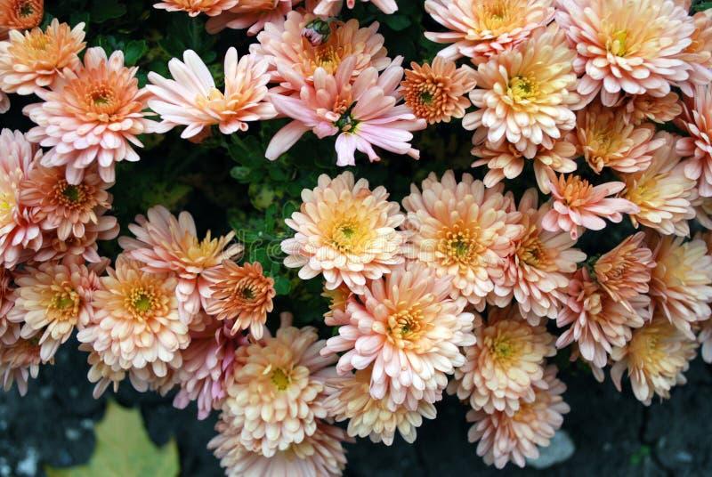 Oranje Chrysanten royalty-vrije stock afbeeldingen