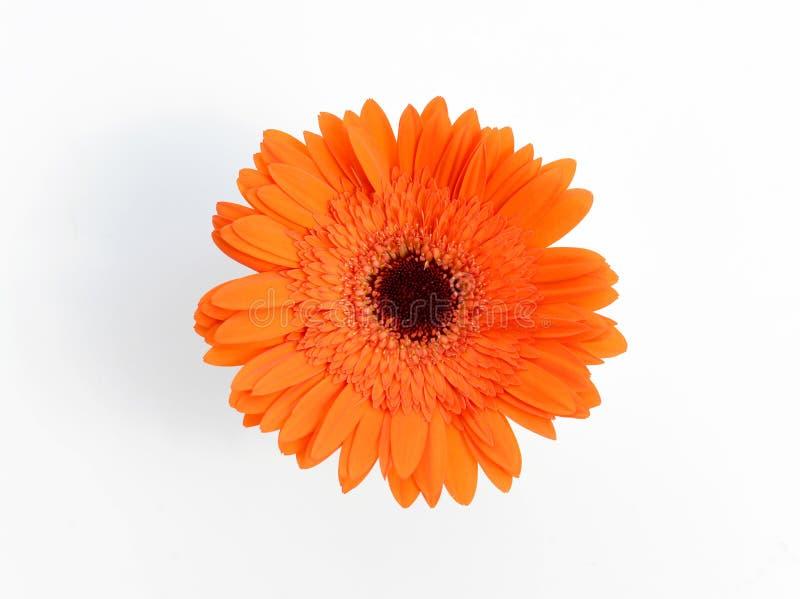 Oranje chrysanten in witte vaas stock fotografie