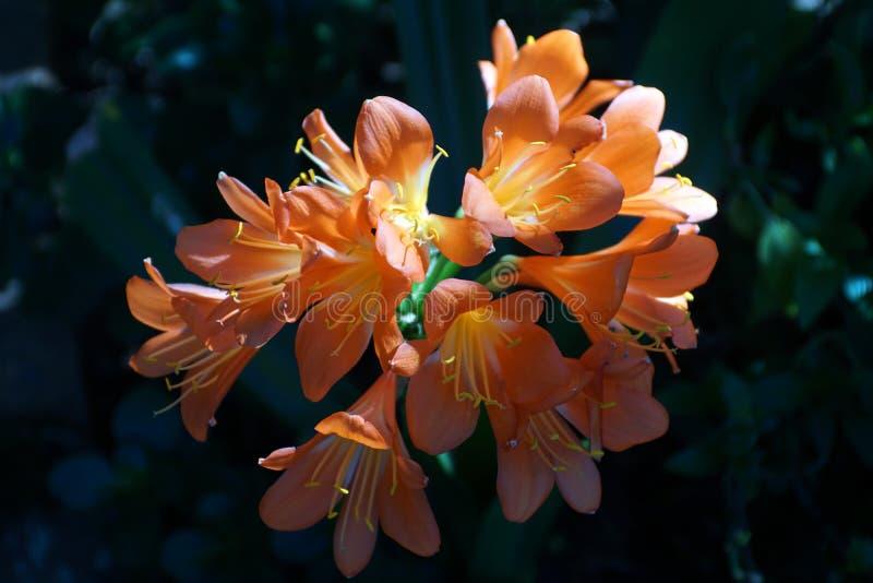 Oranje clivia in Pretoria, Zuid-Afrika stock foto