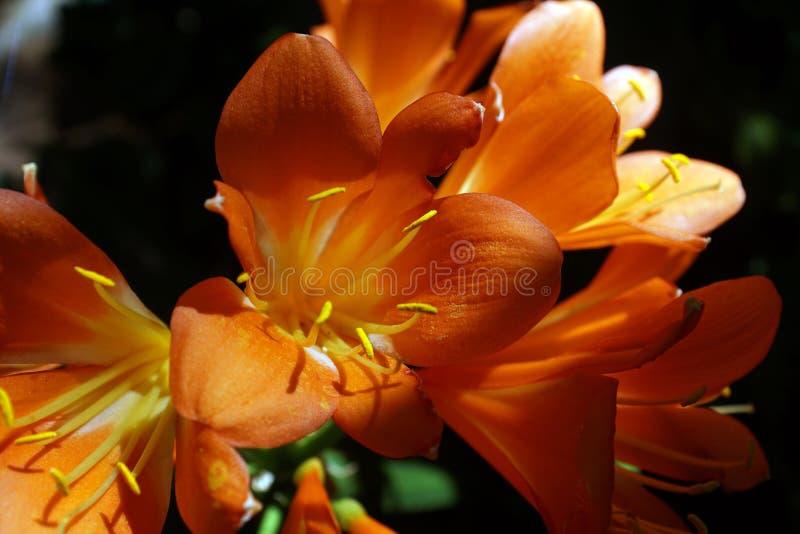 Oranje clivia in Pretoria, Zuid-Afrika stock afbeelding