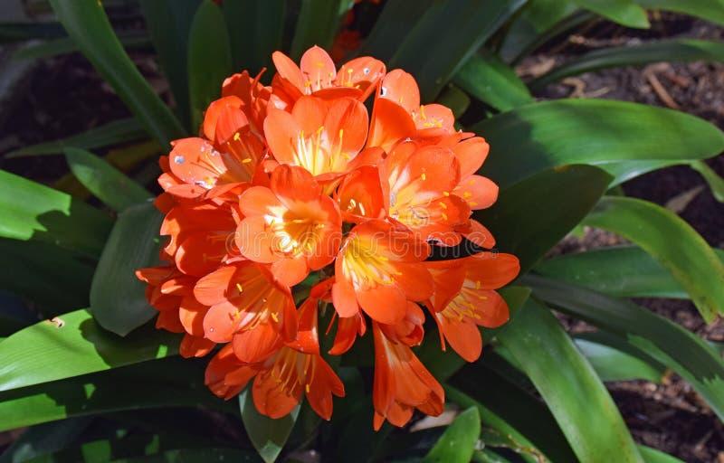 Oranje cluster van trompet-vormige miniata van bloemenclivia stock afbeelding