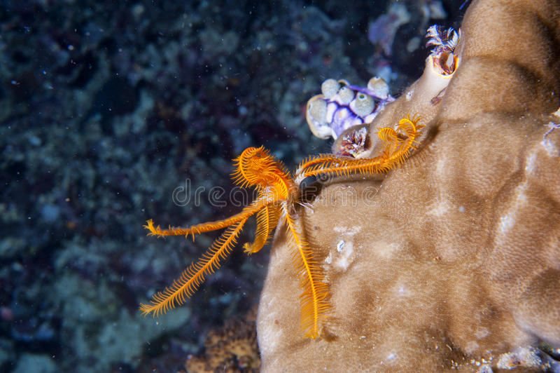 Oranje Crinoid-overzeese sterfamilie Onderwater royalty-vrije stock foto