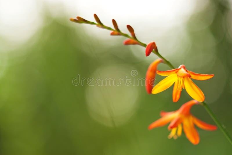 Oranje Crocosmia-bloemen in solflicht royalty-vrije stock afbeelding