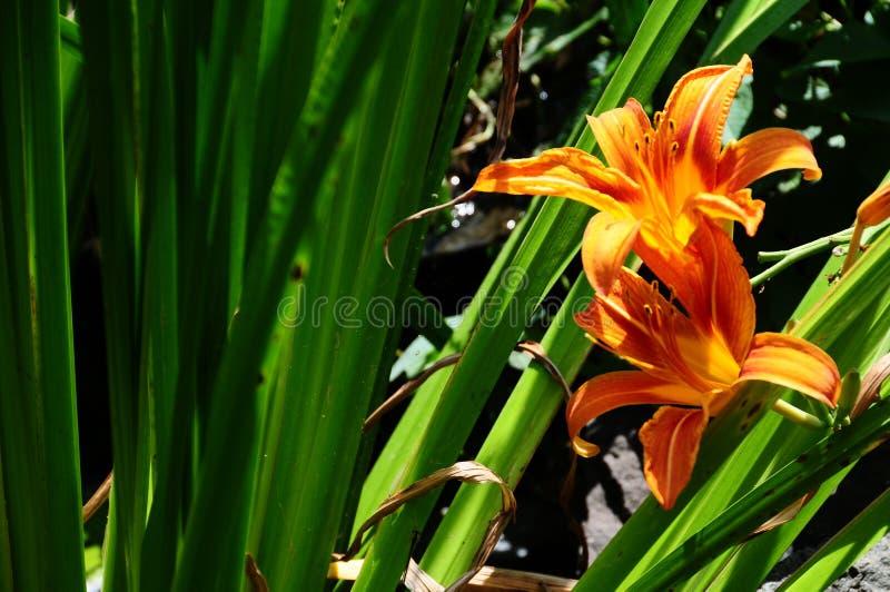 Oranje Dag Lily In Backyard Garden stock foto