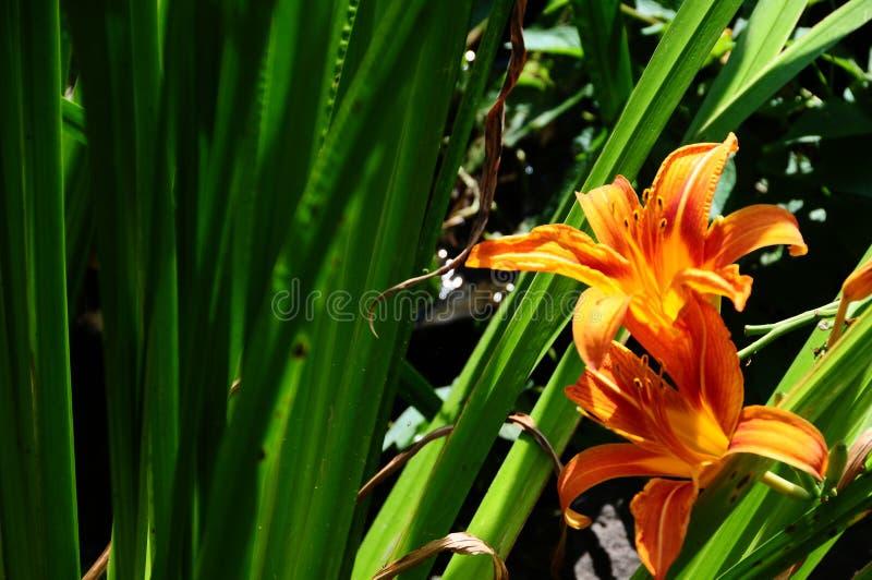 Oranje Dag Lily In Backyard Garden royalty-vrije stock foto's