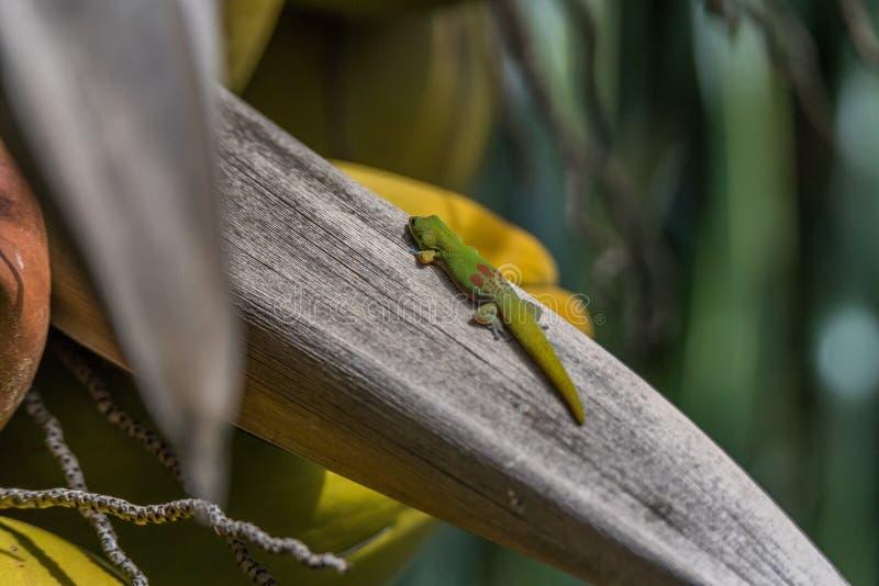 Oranje Daggekko die een kokospalm zitten royalty-vrije stock foto