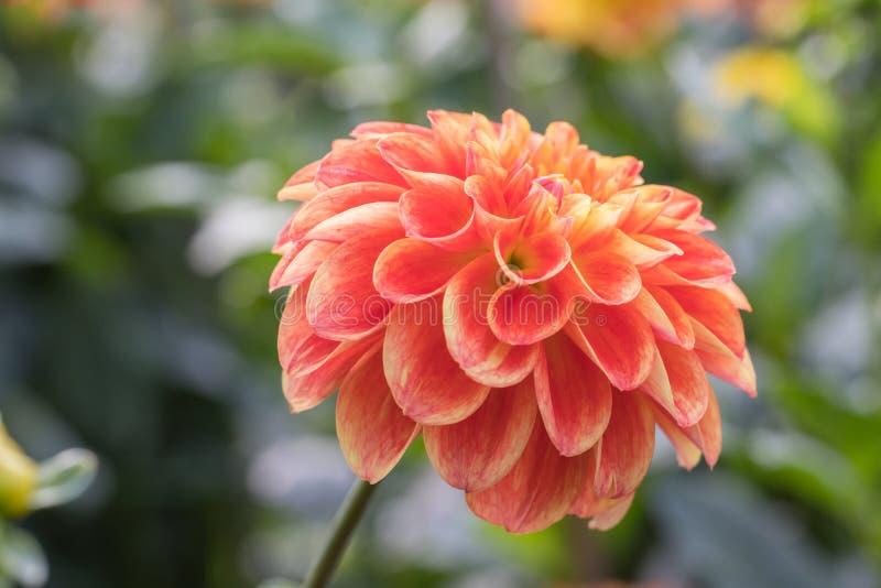Oranje dahlia royalty-vrije stock foto
