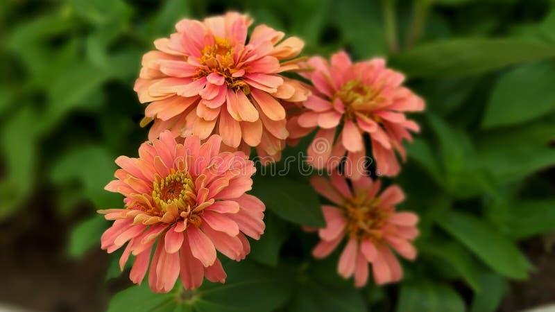 Oranje dahliabloemen die tegen het bloeien rennen stock foto