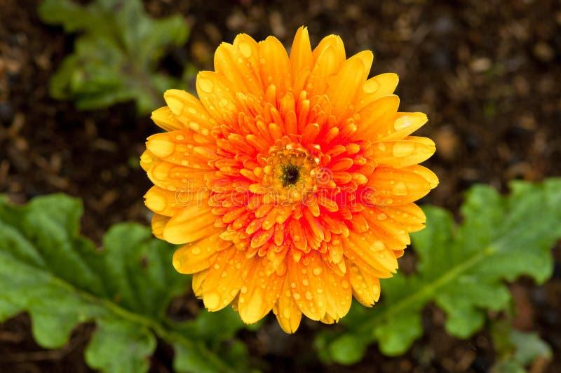 Oranje Daisy stock fotografie