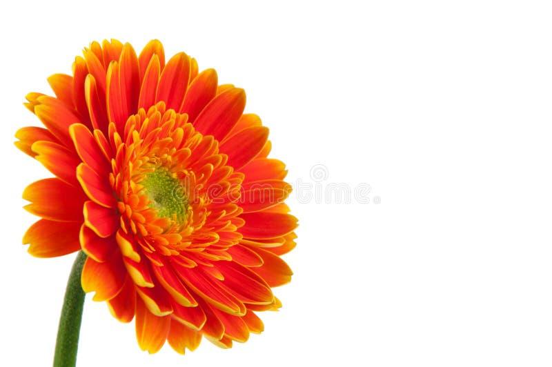 Oranje Daisy Gerbera stock foto