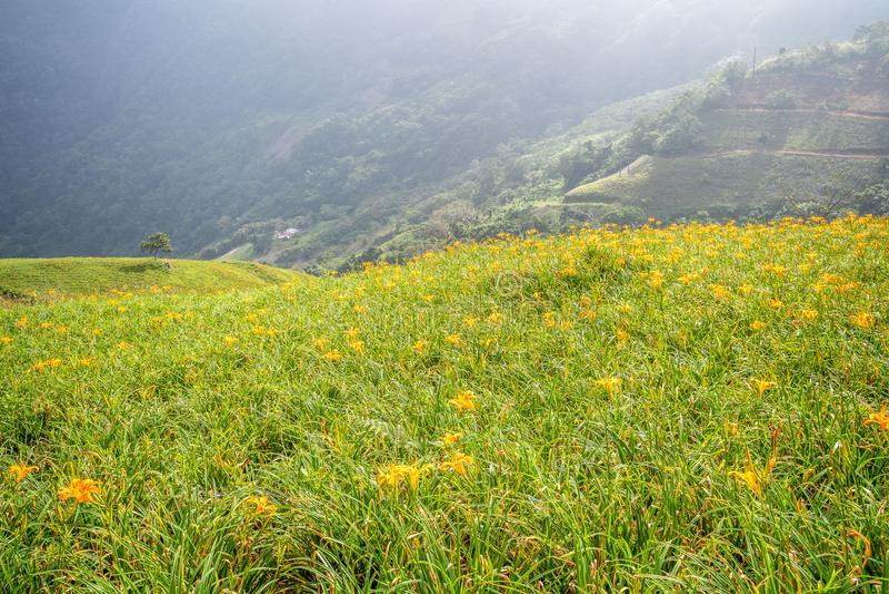 Oranje daylilyTawny bloeit daylily landbouwbedrijf in Taimali stock afbeelding
