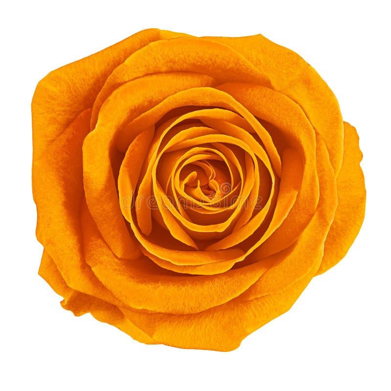 Oranje de bloem nam geïsoleerd op witte achtergrond toe Close-up Element van ontwerp royalty-vrije stock afbeelding