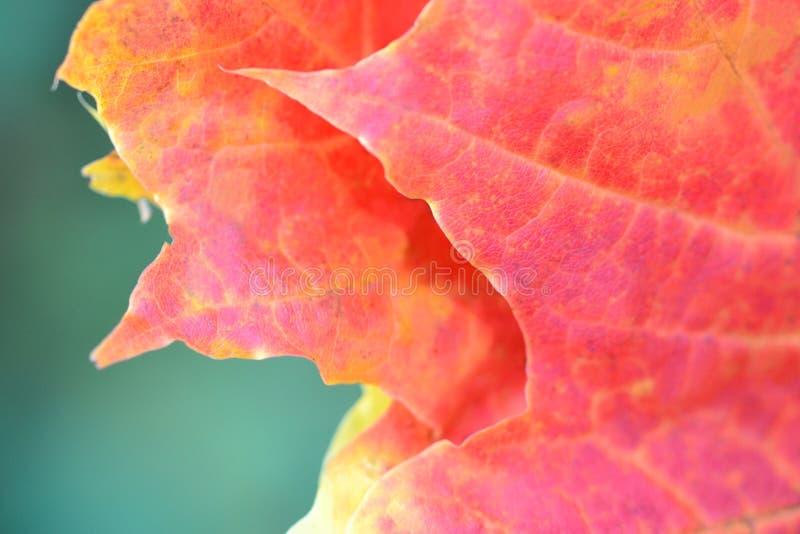 Oranje de close-upconcept van het esdoornblad royalty-vrije stock foto's