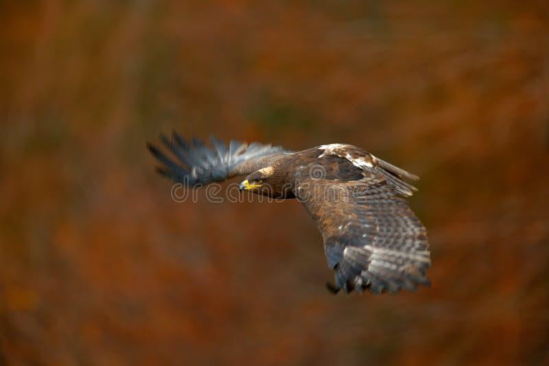 Oranje de herfstscène met roofvogel De Steppe Eagle, Aquila-nipalensis, vogels van de gezichtsvlucht met de herfstbos op achtergr stock fotografie