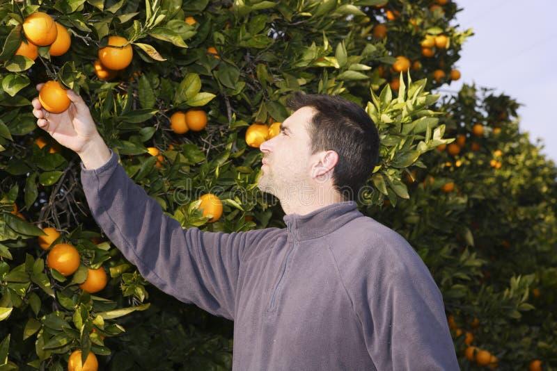 Oranje de landbouwersoogst van het boomgebied het plukken vruchten royalty-vrije stock foto's