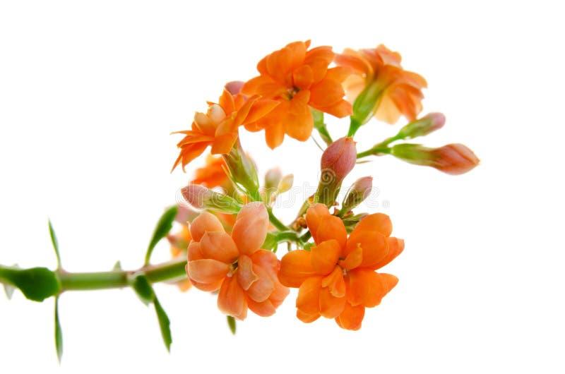 Oranje die bloemen van Kalanchoe op witte achtergrond wordt geïsoleerd stock afbeelding