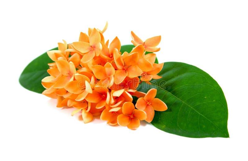 Oranje die Ixora-bloemen op witte achtergrond worden ge?soleerd Ge?soleerde Ixorabloemen Ixorabloemen met geïsoleerde bladeren royalty-vrije stock foto's