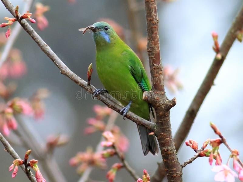Oranje-doen zwellen Leafbird royalty-vrije stock foto's