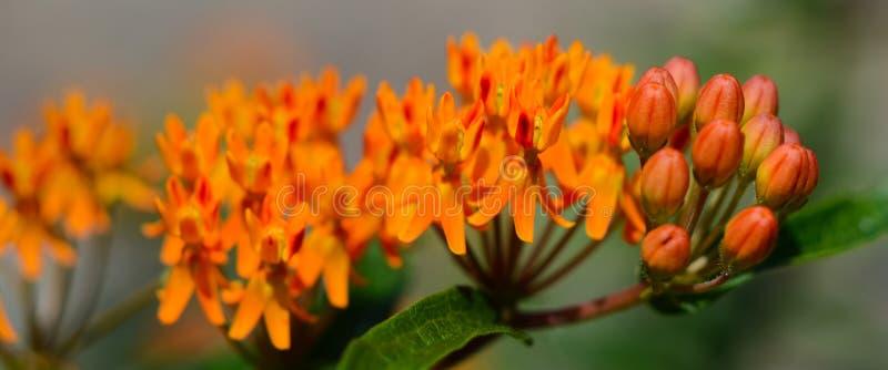 Oranje eeuwigdurend de bannerbeeld van het Vlinderonkruid royalty-vrije stock foto