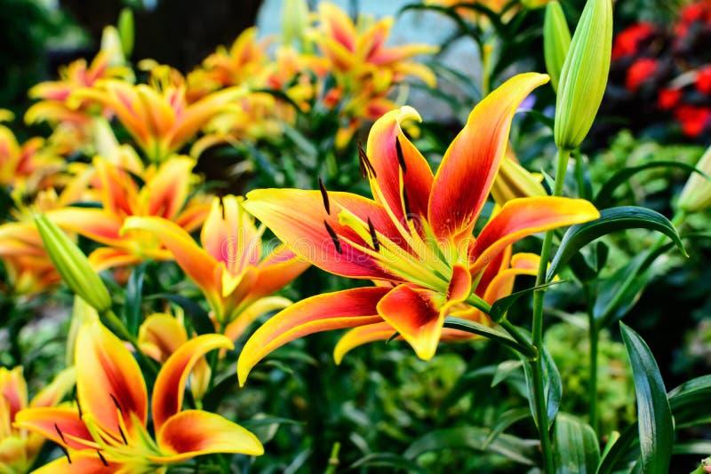 Oranje en gele Aziatische Leliebloemen royalty-vrije stock fotografie