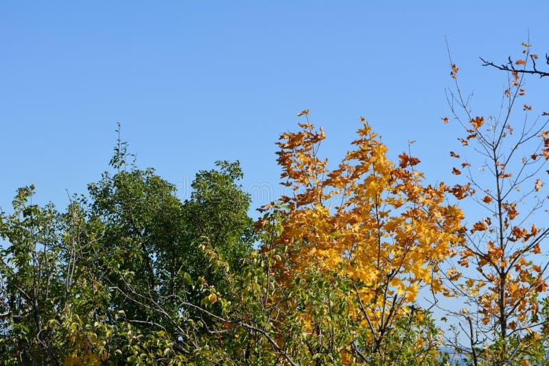 Oranje en gele esdoornbladeren onder bomen met groen gebladerte Het begin van de herfst royalty-vrije stock afbeeldingen