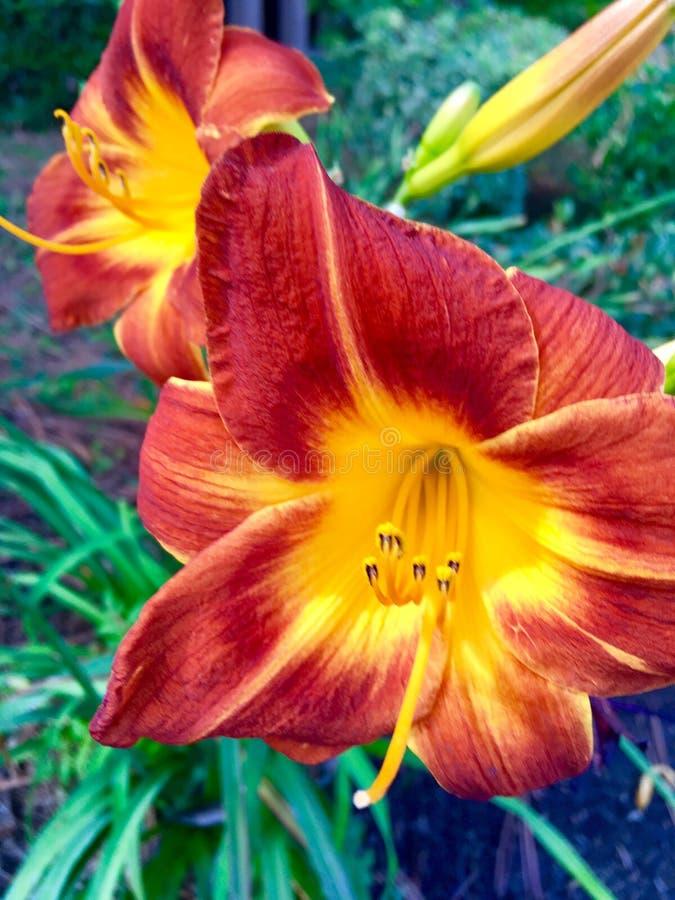 Oranje en Gele Lillies royalty-vrije stock foto's