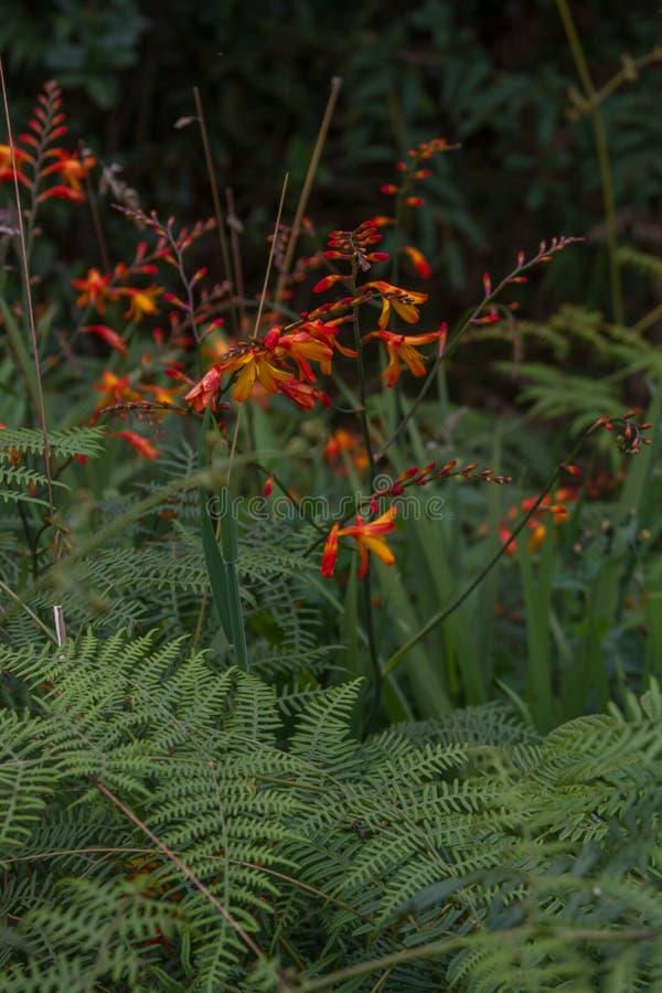 Oranje en rode bloem royalty-vrije stock afbeelding