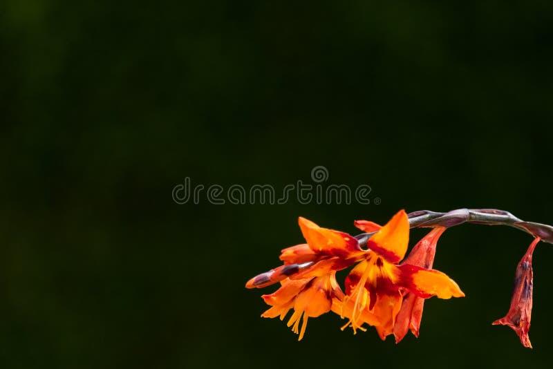 Oranje en rode crocosmia die in de zon tegen een donkergroene achtergrond bloeien stock foto