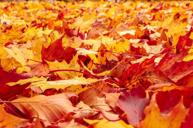 Oranje en rode de herfstbladeren van de daling op grond stock afbeeldingen