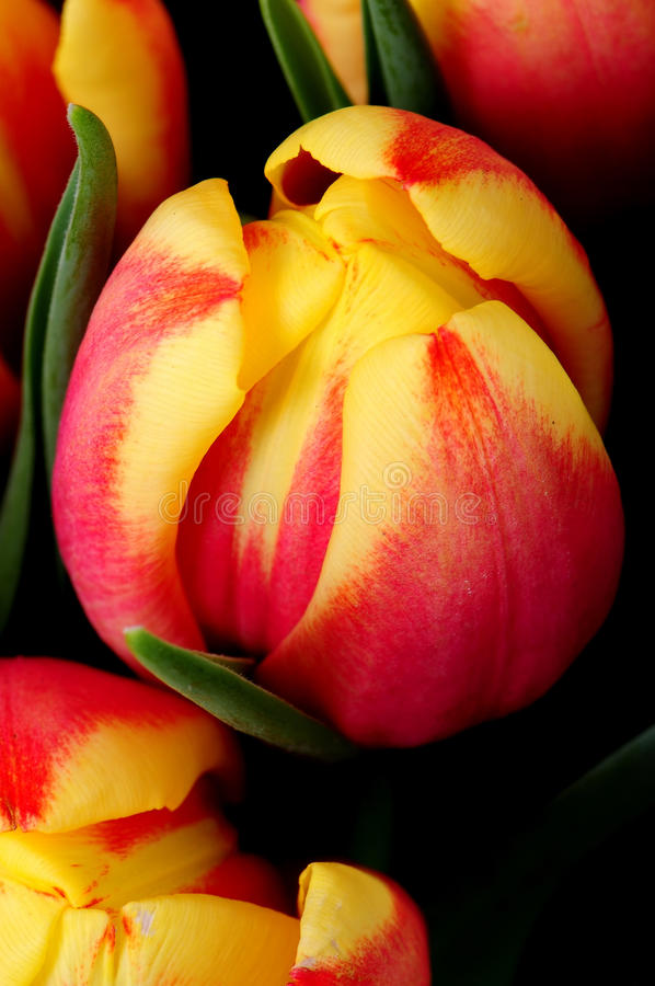 Oranje en rode tulpen royalty-vrije stock afbeelding